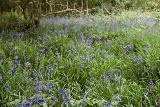 Union wood - Bluebells & Wild garlic
