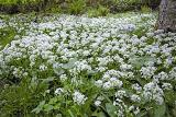 Union Wood - wild garlic