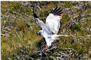 Slieve Bloom NR- male hen harrier