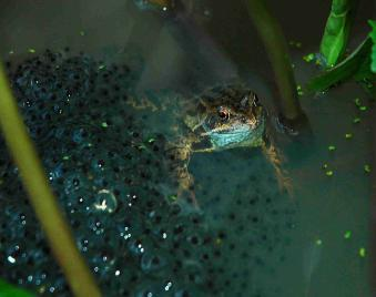 Photo of adult frog with spawn
