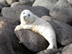Grey Seal Pup Stage 2