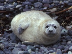 Grey Seal Pup Stage 3