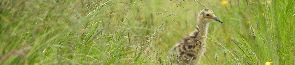 Photo of curlew chick
