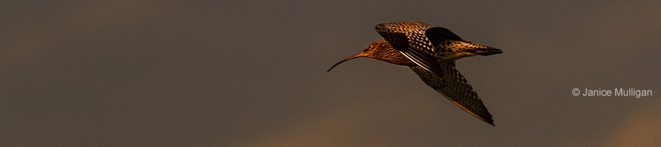 Curlew at sunrise © Janice Mulligan