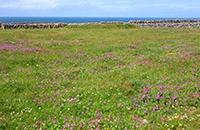 Image of Irish semi-natural grassland scene with wild flowers