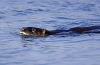 Otter Survey of Ireland 2004 & 2005