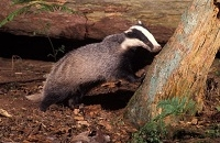 Badger and Habitats Survey of Ireland