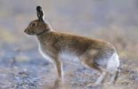 Photo of Irish Hare