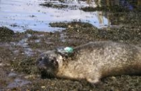 Photo of harbour seal