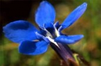 Photo of a Spring Gentian
